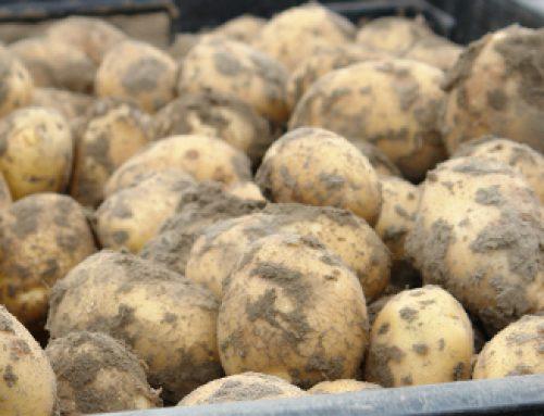 De eerste Hollandse nieuwe oogst aardappelen zijn er weer!