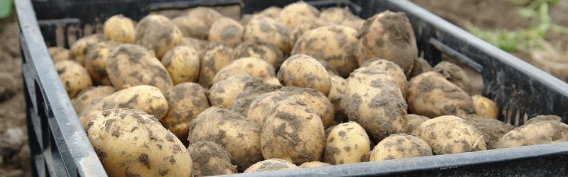 Nieuwe Oogst Aardappelen weer beschikbaar